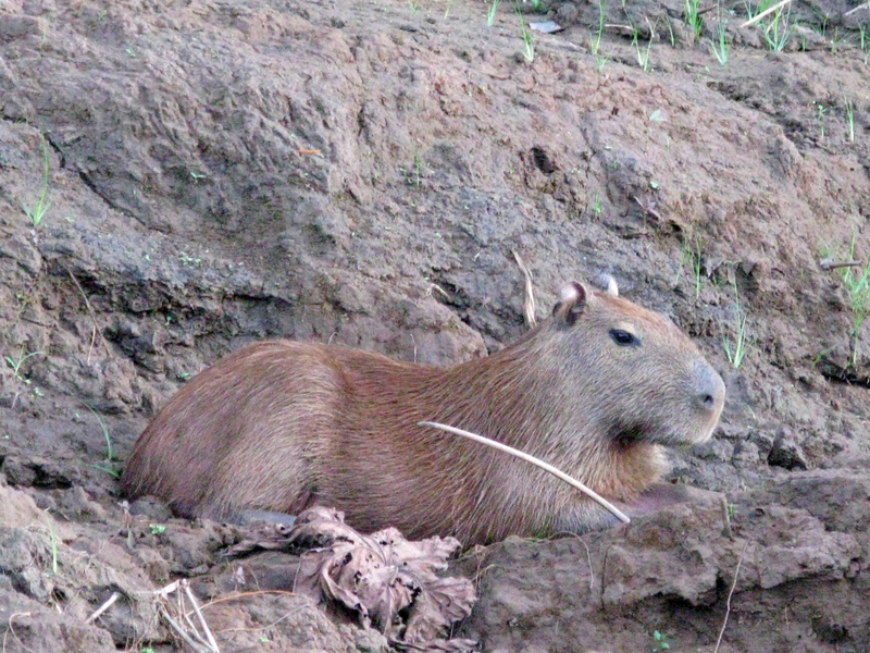capybara - largest rodent in the World; characterized by their webbed feet and absence of tail