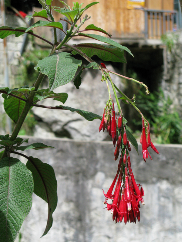 wild flowers of Aguas Calientes / Machu Picchu village