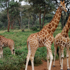 Animal Orphanage and Giraffe Center, Nairobi Kenya - photography by Jenny SW Lee