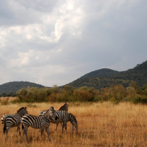 Zebras in safari Kenya - photography by Jenny SW Lee