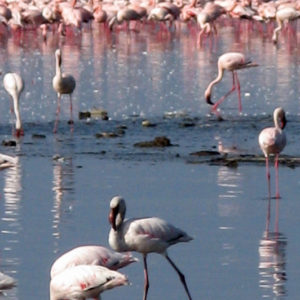 Pink Flamingo Narok Kenya - photography by Jenny SW Lee