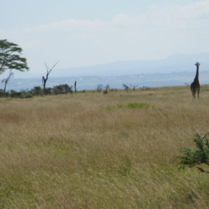 Giraffes in safari Kenya - photography by Jenny SW Lee