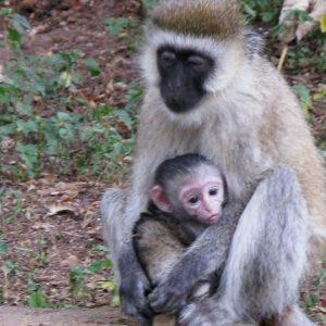 Monkeys in Kenya - photography by Jenny SW Lee