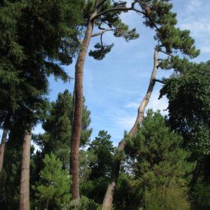 Elegant trees of Christchurch Botanic Gardens