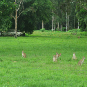 kangaroos in Atherton Tablelands