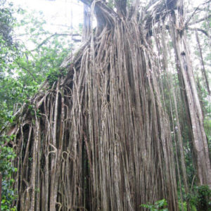 Curtain fig tree in Atherton Tablelands
