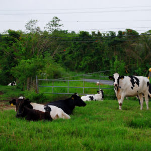 Cows in Puerto Rico