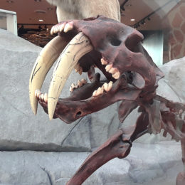 Smilodon fatalis Sabretooth Tiger)