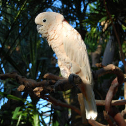 Cockatoo at Bloedel Floral Conservatory