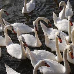 Swans along Masarykovo, swim up to shore where they are lured and fed.