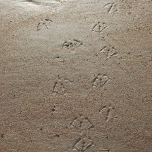 Footprints on sand of Seal Harbor