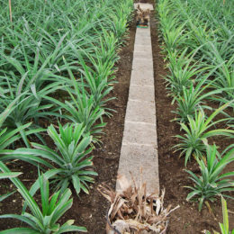 Arruda Pineapple Plantation