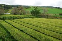 Chá Gorreana Tea Plantation, São Miguel Island, Azores Portugal