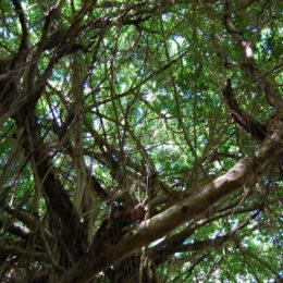 Banyan trees in Kauai's Hindu Monastery in Kapaa