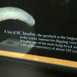 Local BC Bivalve - life expectancy of about 150 years. Largest burrowing clam in the world