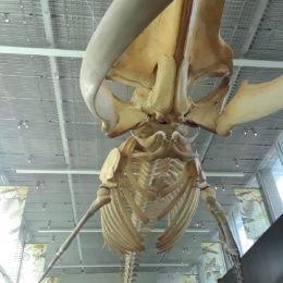 Blue whale - estimated weight 150 tons.