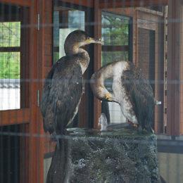 Sea cormorant