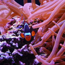 Clown anemonefish and Bubble-tip anemone