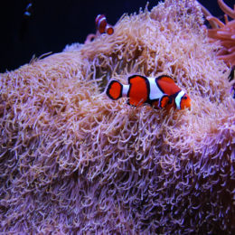 Clown anemonefish and Carpet anemone