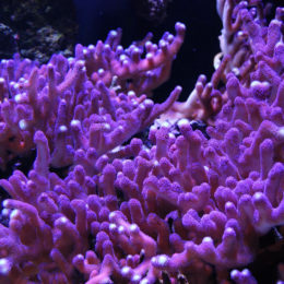 Club finger coral