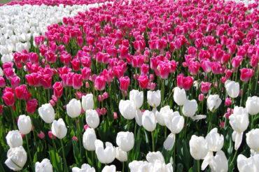 Skagit Valley Tulip Festival Washington | Photography by Jenny S.W. Lee