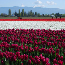 Skagit Valley Tulip Festival Washington | Photography by Jenny S.W. Lee