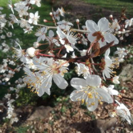 Cherry Blossoms in Bellevue WA   Photography by Jenny S.W. Lee