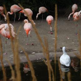 flamingos and swan